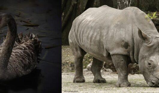Szary nosorożec, czarny łabędź i employer branding